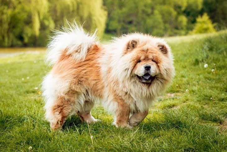 79 Chow Chow Price Range In 2020 Puppy Breeds Chow Chow Puppy Chow Puppies For Sale