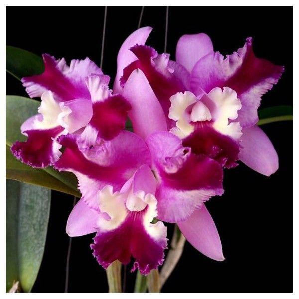 Cattleya Varut Song In 2020 Cattleya Orchid Cattleya Orchids