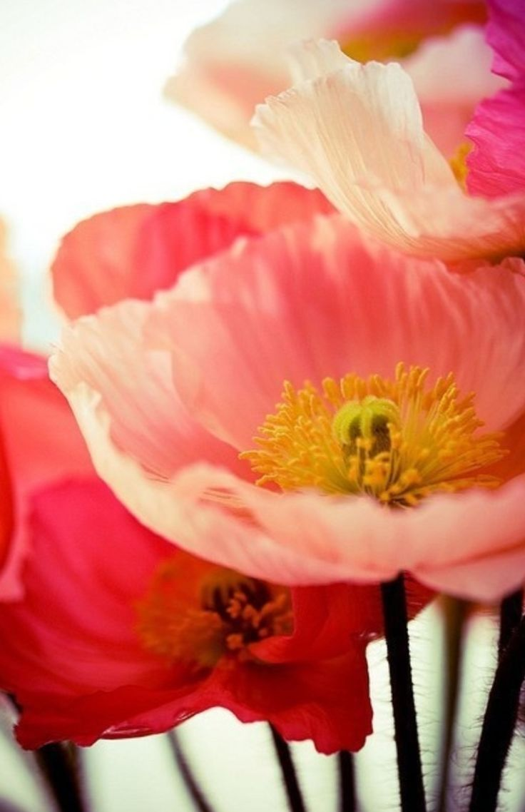 79 best poppies images on pinterest red poppies nature and flowers