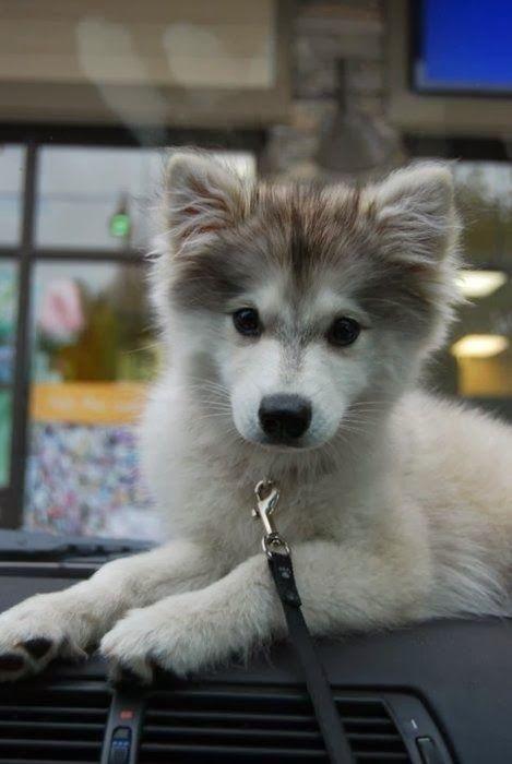 pin baby huskies pictures - photo #15