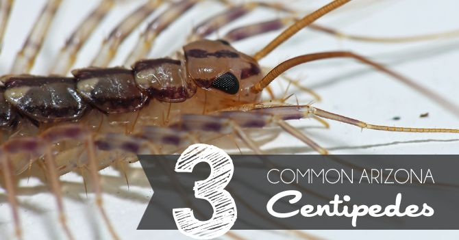 common centipedes in arizona centipedes pestcontrol home pest control centipedes. Black Bedroom Furniture Sets. Home Design Ideas