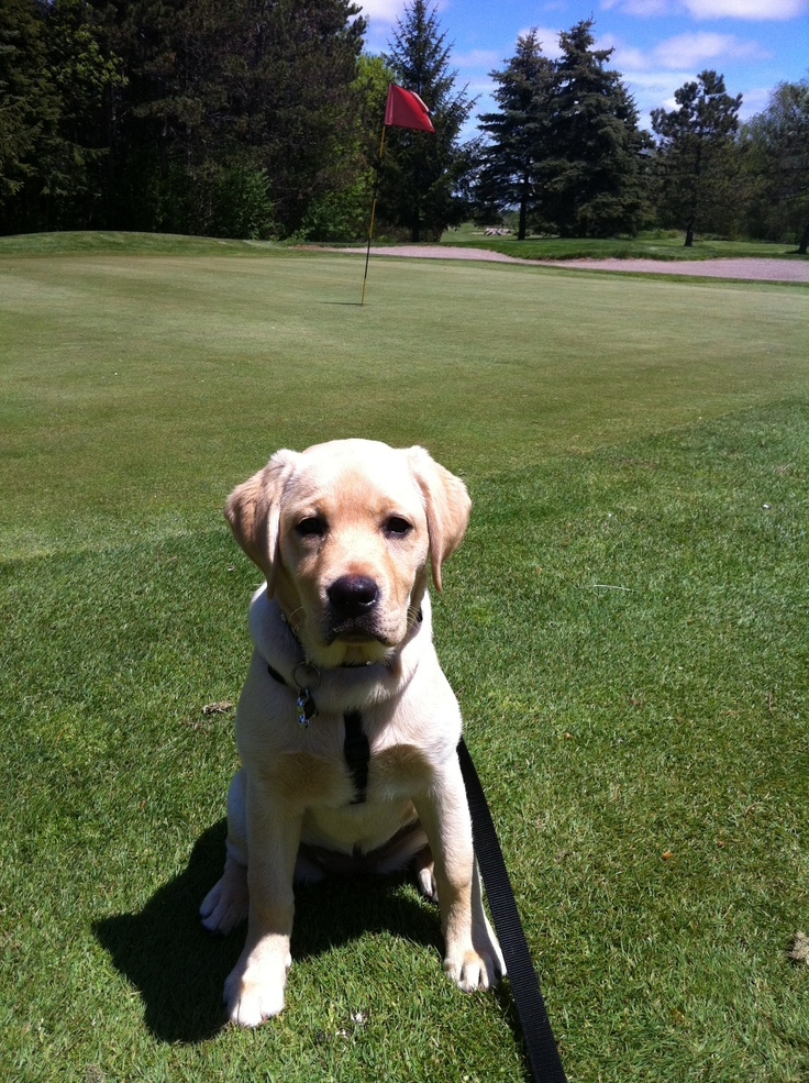Beautiful day at Carruther's Creek Golf and Country Club in Ajax, Ontario! The yellow Labrador retriever puppy agrees!  www.carrutherscreekgolf.ca 905-426-GOLF