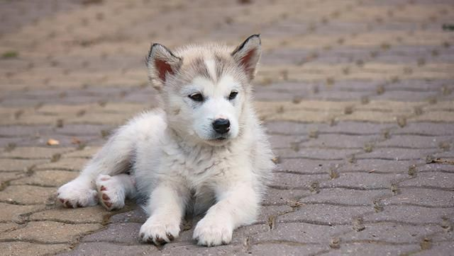 Alaskan Malamute Puppies Facts And Pictures Alaskan Malamute