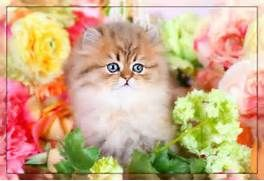 Persian Kittens for Sale Himalayan Kittens for Sale Teacup ...