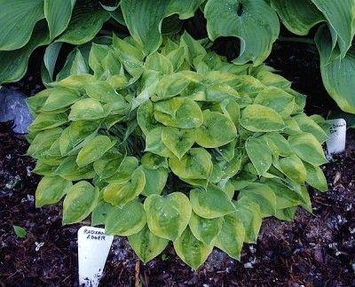 Planta hostas en tu jardín