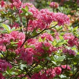 Trädgårdsazalea 'Homebush'