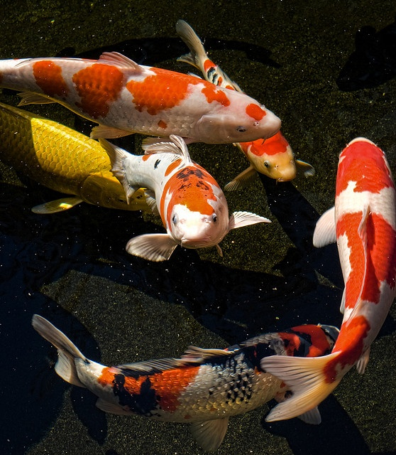 154 best butterfly koi orandas ponds images on for Chinese koi pond