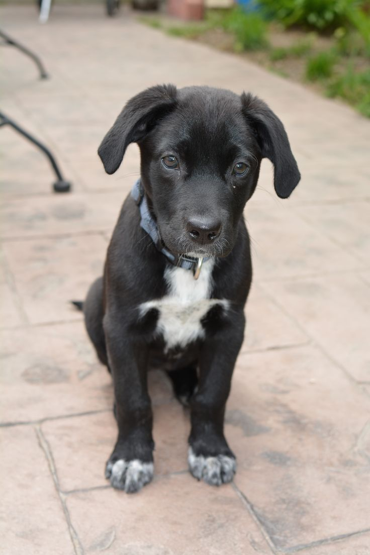 1000 images about dogs on pinterest pitbull black