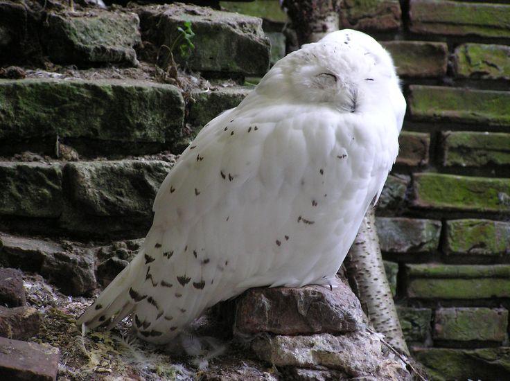 Sneeuwuil  (Bubo scandiacus) (2005)