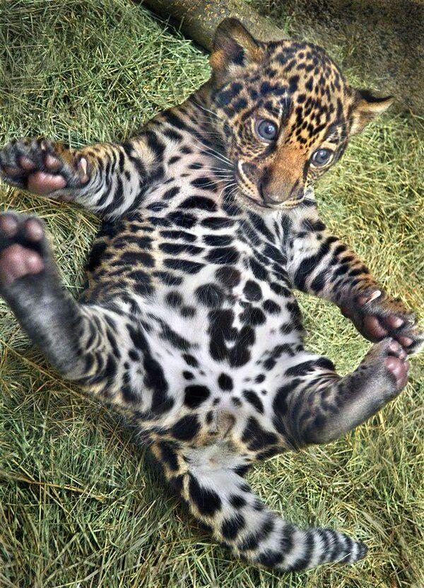 Красивый детеныш ягуара