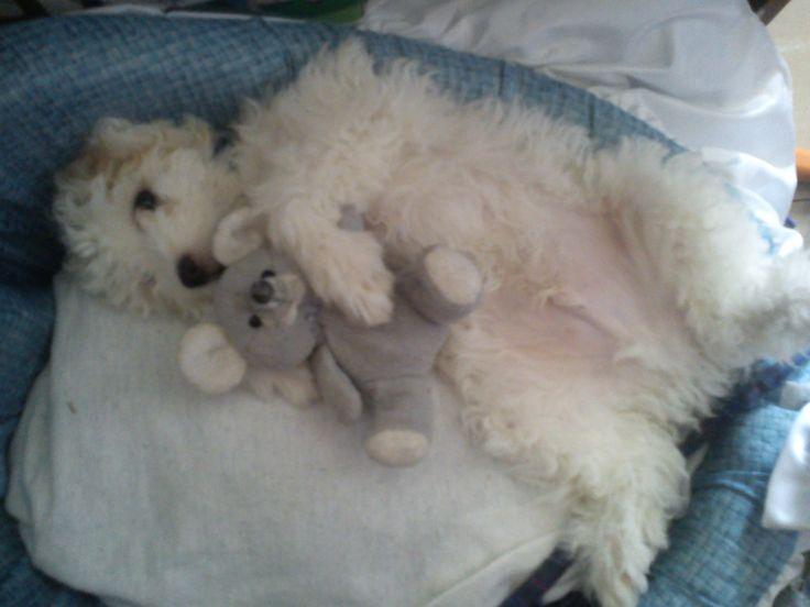 Shiro the puppy