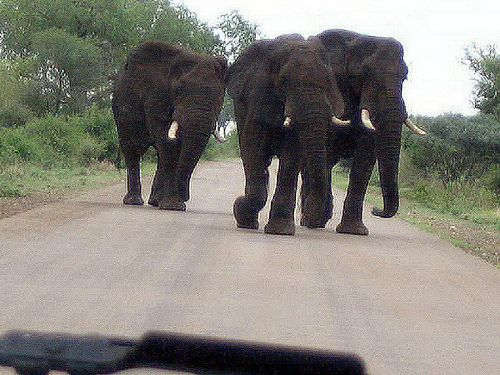 Elephant in the Kruger Park - just before they reached us they decided to take a path off the road.