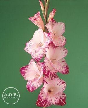 Small Flower Tattoos Gladiolus