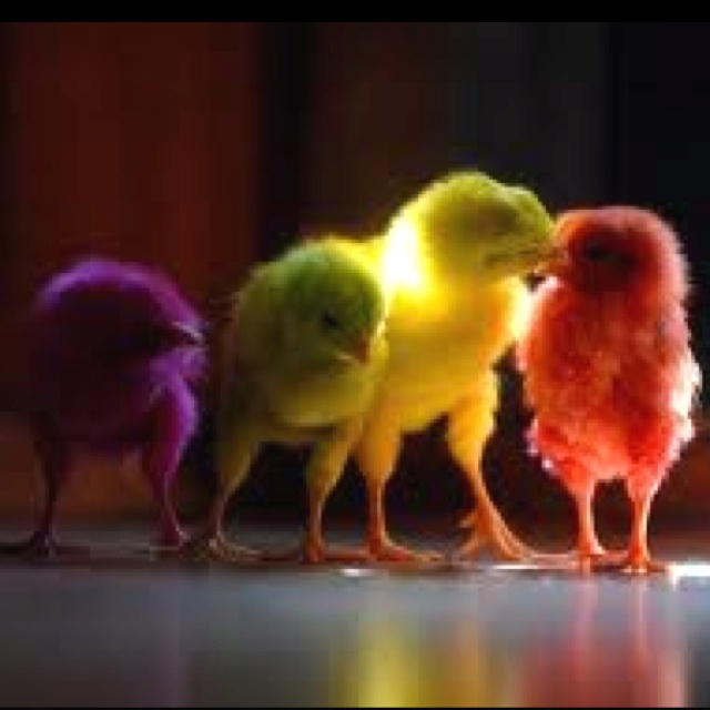 Teehee!! Dyed chicks!!