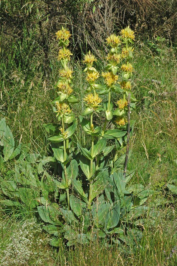Gentiane jaune plante pinterest for Plante jaune