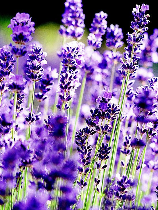 Via @Better Homes and Gardens Add lavender to your sunny garden or container! Use our helpful gardener's guide to choose the best type for your conditions: http://www.bhg.com/gardening/flowers/perennials/gardeners-guide-to-lavender/