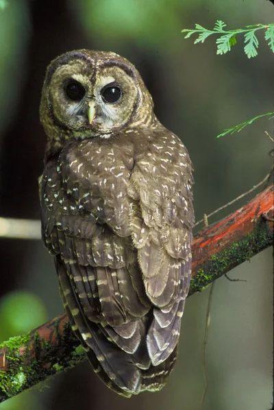 recherche faits de hibou strix owl s image owl characteristics owl chouette the owls spotted owl owl strix