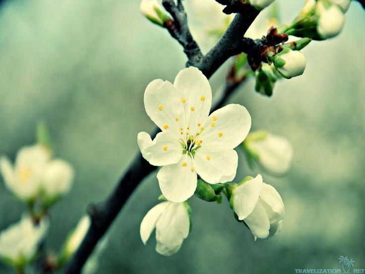 Blooming Apple Tree HD Wallpapers