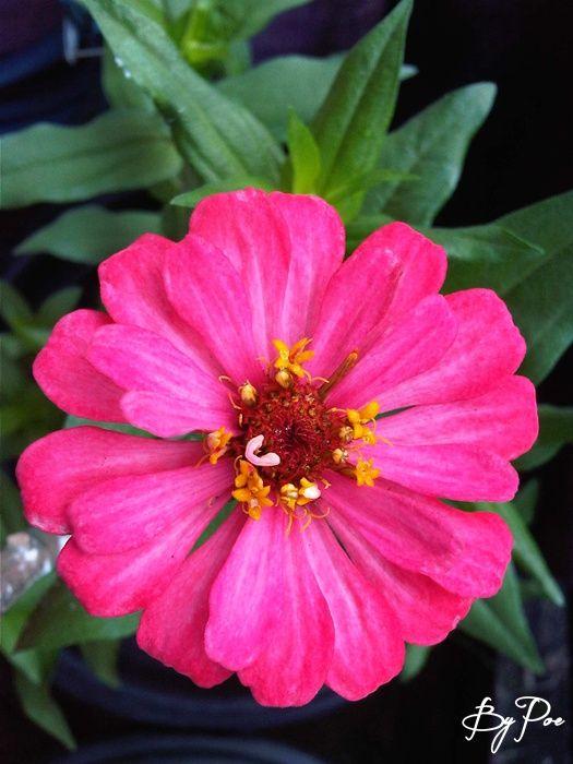 Pink Zinnia, Kembang Kertas