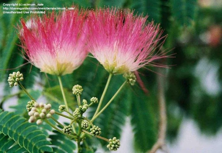 View picture of Silk Tree, Mimosa Tree, Pink Siris, Persian Silk Tree (Albizia julibrissin) at Dave's Garden.  All pictures are contributed by our community.