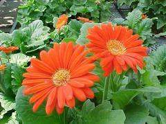 Barberton Daisy (Transvaal Daisy, African Daisy, Veldt Daisy, Gerbera Daisy) | Scientific Names: Gerbera jamesonii | Family: Compositae