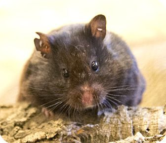 Chicago, IL - Hamster. Meet Snuggles, a pet for adoption. http://www.adoptapet.com/pet/12671877-chicago-illinois-hamster