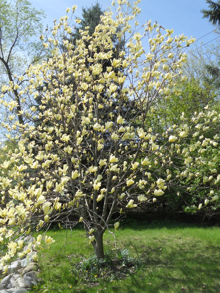 Butterfly Magnolia | Magnolias | Pinterest | D, Trees and ...