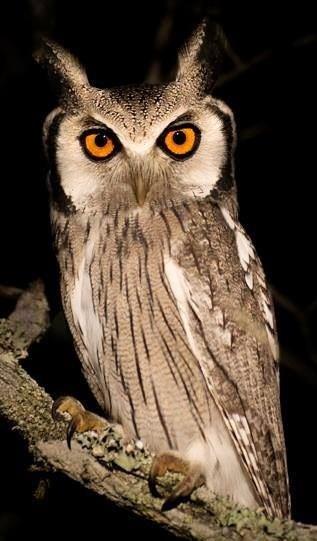 Southern White-faced Owl via Bird's Eye View at www.Facebook.com/aBirdsEyeViewForYou
