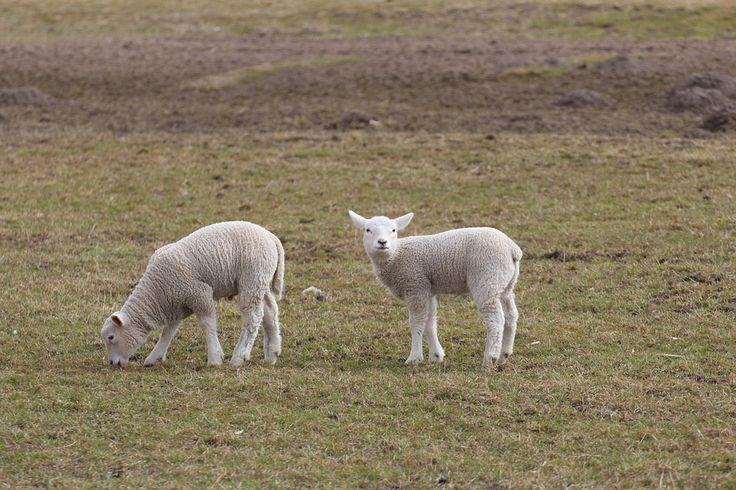 Idealne miejsce dla twoich owiec! Sprawdź: http://puszystaowca.pl/wypas-owiec-jozefow/ !