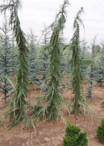 Weeping Lebanon Cedar  Cedrus libani 'Pendula'