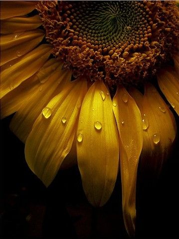 SUNFLOWER (flower/seeds/oil) Fire/Sun - Vitality & strength. Life & health. Wishes & happiness.