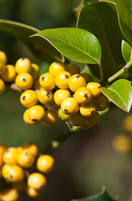 Yellow-fruited holly