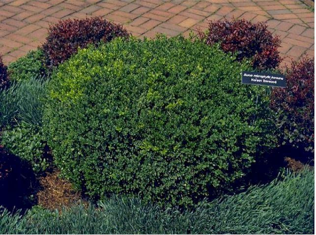 Small purple leaf shrubs korean boxwood small compact for Short evergreen trees