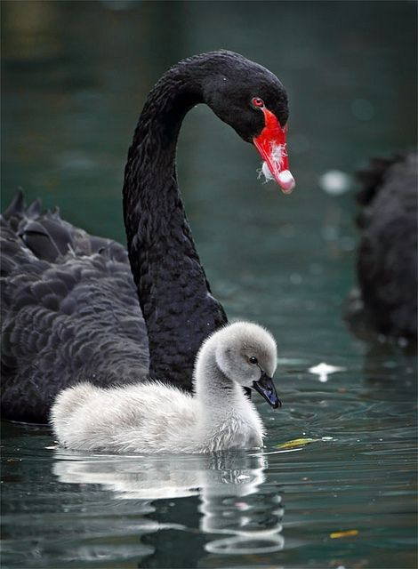 Swans:  Black #swan and #cygnet, by John Fish.