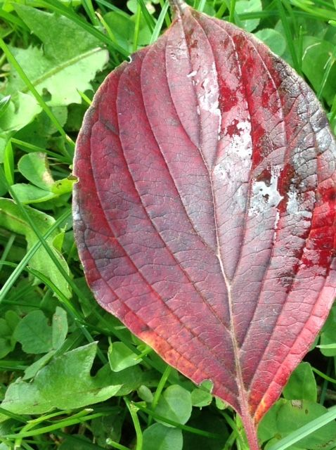 Purple leaf of pagoda dogwood in autumn, highlighted on green grass, www.purplepottingshed.com