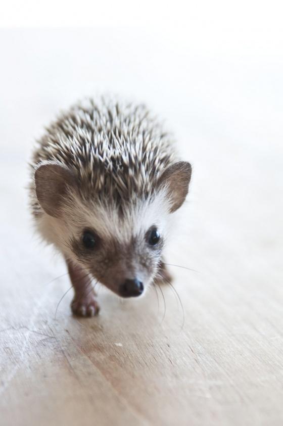 Hedgehog//