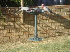 In our back garden  Galah's: Australian, Garden Galah S, Gardens, Zealand Bird