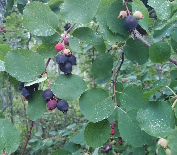 Saskatoon Serviceberry Seeds (Amelanchier alnifolia) + FREE Bonus 6 Variety Seed Pack - a $30 Value!