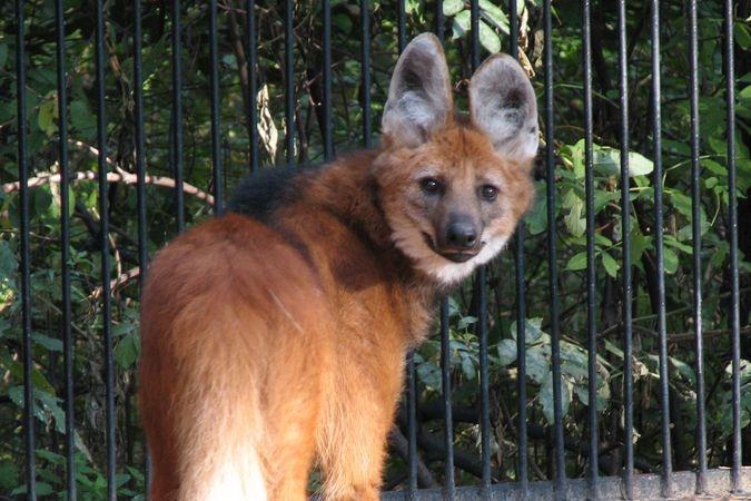 В Новосибирский зоопарк прибыл из Лейпцига гривистый волк  - http://zoovestnik.ru/2013/06/14759/