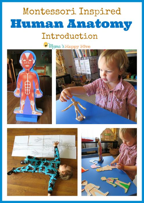 A collection of fun activities for a Montessori human anatomy introduction with toddlers and preschoolers. This post is part of the 12 Months of Montessori series. - www.mamashappyhive.com
