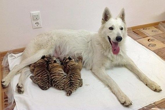 Swiss white shepherd dog mom to raise a hand and foot ...