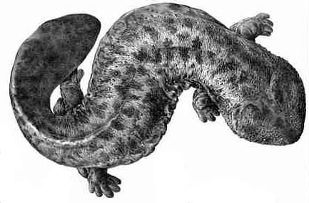 """The Japanese giant salamander (Andrias japonicus) is endemic to Japan, where it is known as Ōsanshōuo (オオサンショウウオ/大山椒魚?), literally meaning """"giant pepper fish"""". With a length of up to almost 1.5 meters (5ft),[2] it is the second largest salamander in the world, only being surpassed by the very similar and closely related Chinese giant salamander (A. davidianus)."""