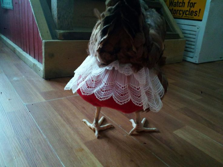 how to put on a chicken diaper