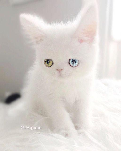531: 猫好きな名無しさん 2017/05/10(水) 09:45:19 ID:2jZvTpao0 ⋀♕⋀ 真っ白フワフワわたあめの毛並みに(₌◕⋏◕₌) 宝石のようなオッドアイのパムパムちゃん。1.2.