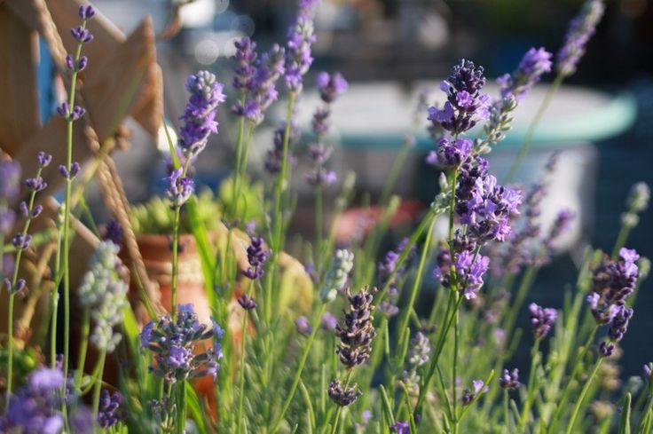 Come coltivare la lavanda in vaso?How to grow lavender in pots? #Lavender #lavanda #pots #vaso #coltivare
