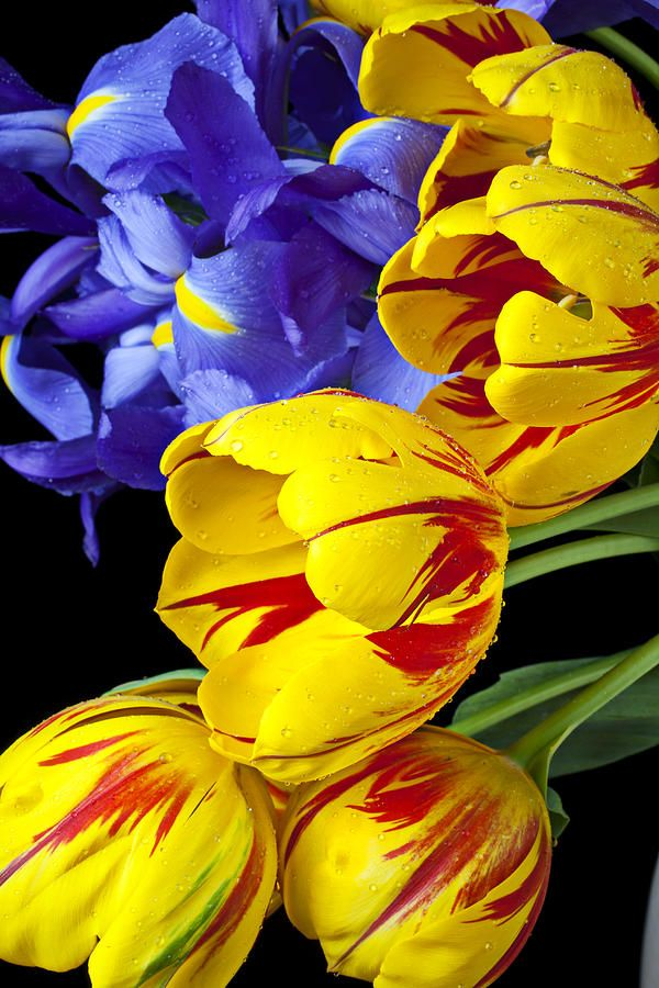 Tulips And Iris-look at those colors! No man can ever capture the colors that God has painted our word with!