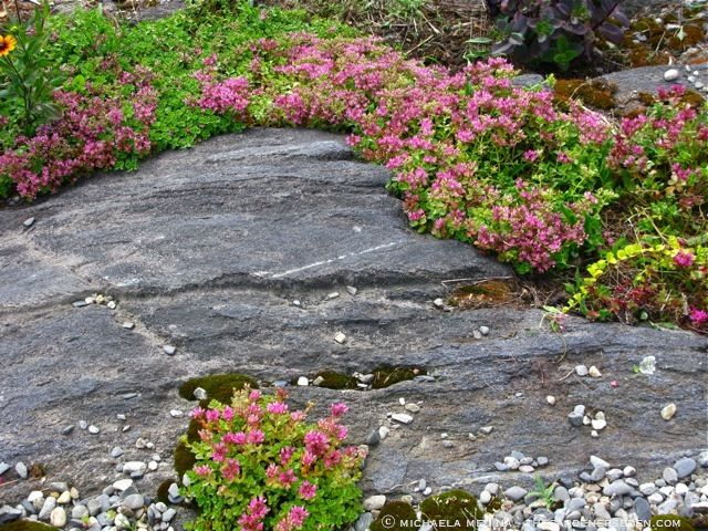 Sedum red wiggle drought tolerant ground cover for sun for Perennial ground cover plants for sun