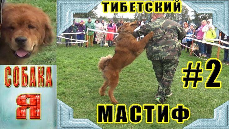 Тибетский Мастиф #2 Выставка северная осень 2017 Tibetan Mastiff Собака имеет большой рост, густую шерсть и пушистый хвост. Тибетский мастиф относится к гигантским породам собак, его вес может составлять от 40 до 75 килограммов. Наличие большого количества положительных качеств, не говорит о том, что эта порода подойдет для всех. Приобретая тибетского мастифа, необходимо быть готовым к длительному обучению и воспитанию.