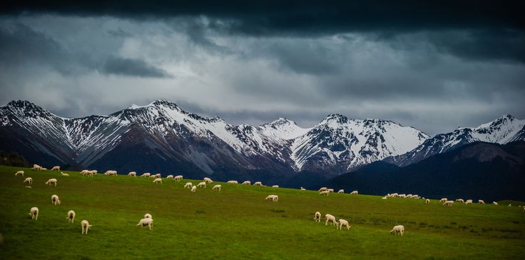 Wide Angle Sheep. New Zealand
