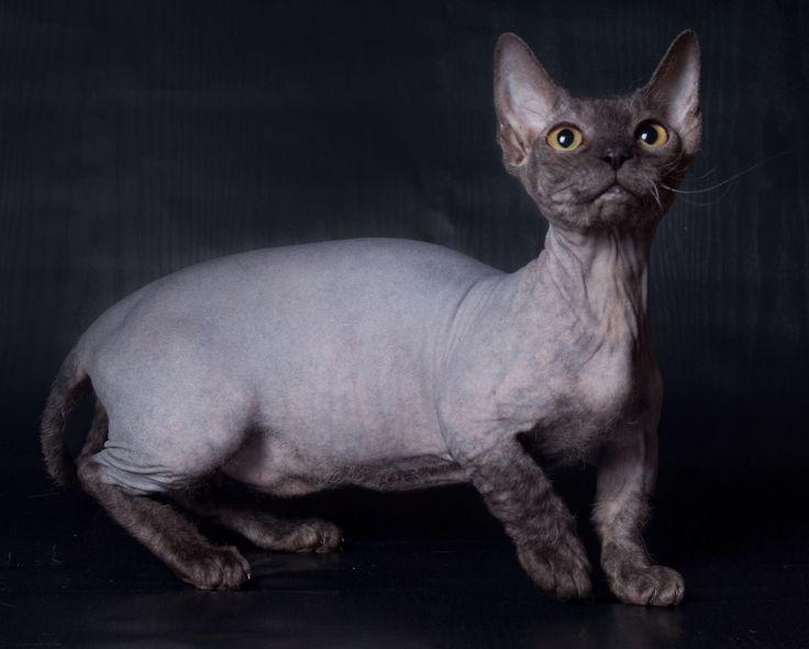Die relativ junge Bambino-Katze ist eine Devon Rex Munchkin, die mit …   – Cats